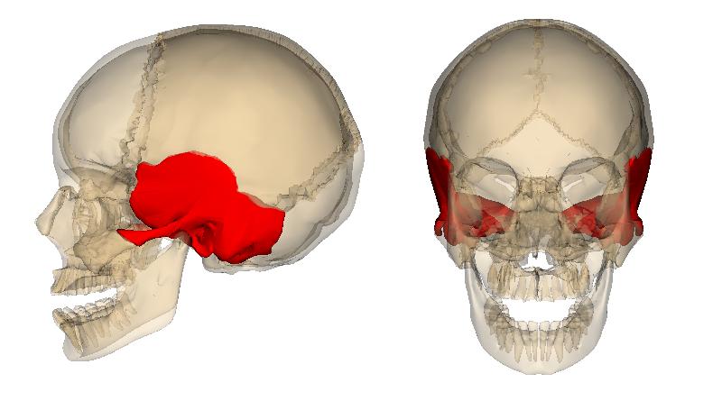 【スパ~側頭骨と側頭筋~】